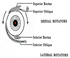 Figure 1: Extra-ocular muscles. Eye muscle strain causing dizziness and headaches