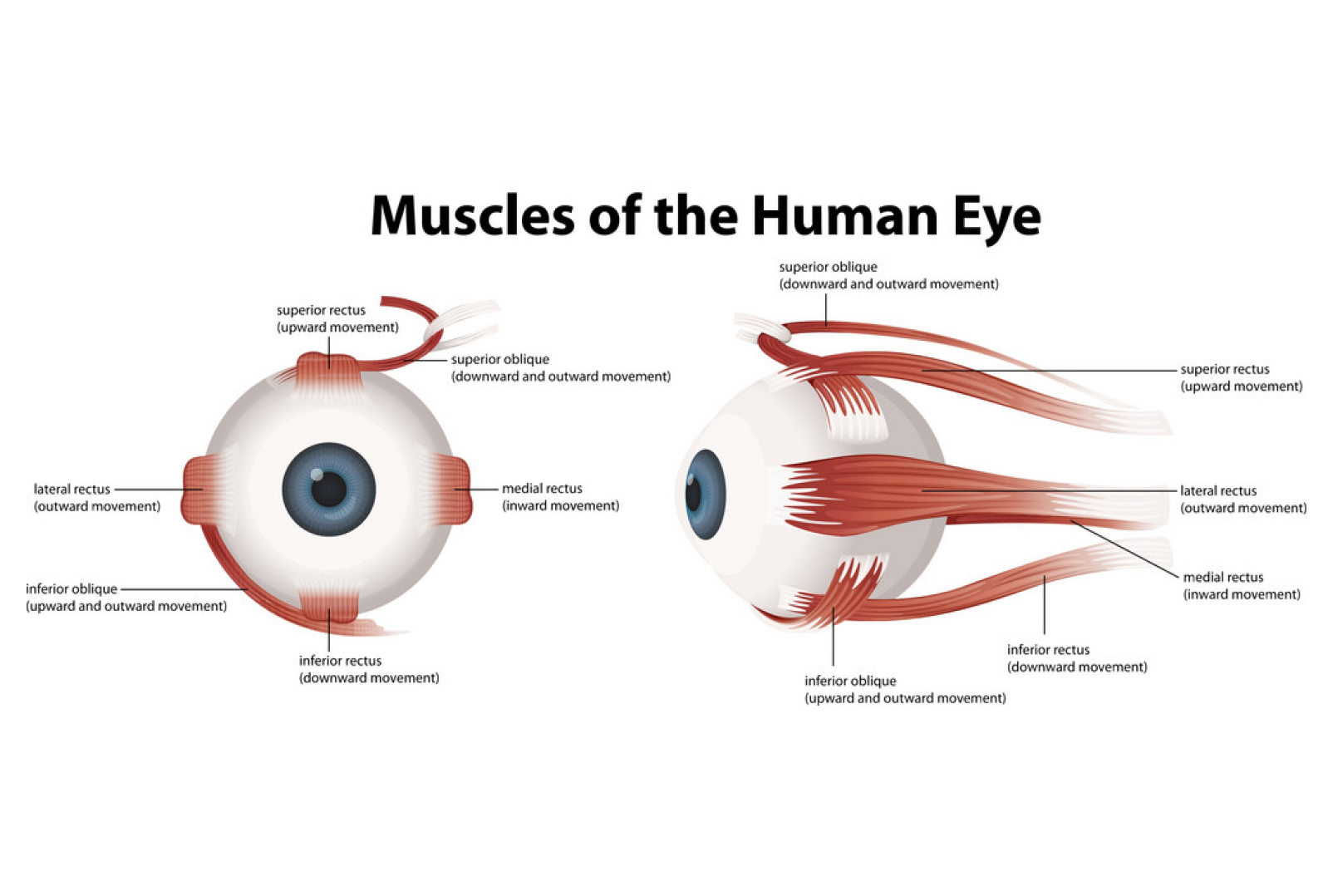 Eye Muscle Strain | Vision Specialists of Michigan | Bloomfield Hills